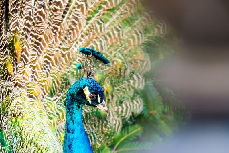 Close-up do pavão no fundo de penas de cauda multi-coloridas macias imagens de stock royalty free