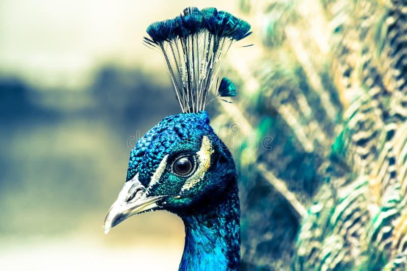 Close-up do pavão no fundo de penas de cauda multi-coloridas macias foto de stock royalty free