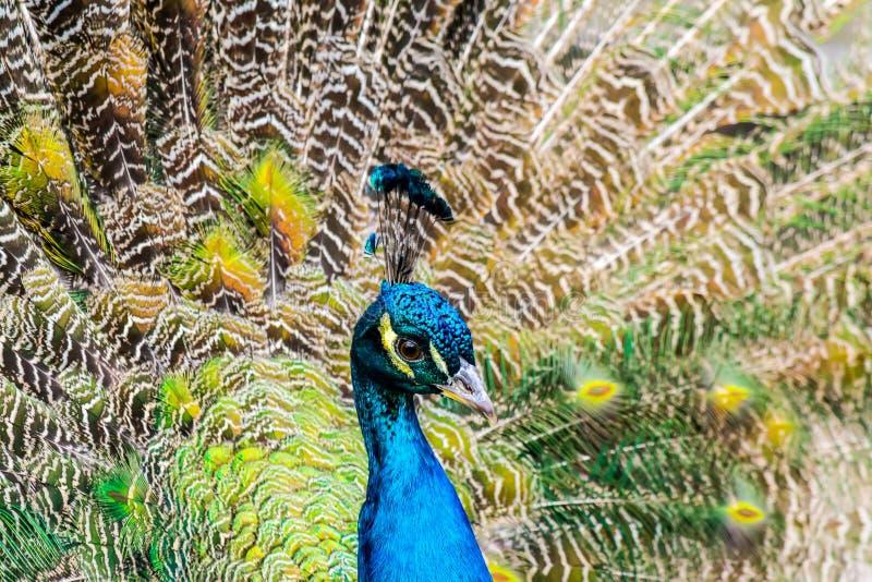 Close-up do pavão no fundo de penas de cauda multi-coloridas macias fotos de stock