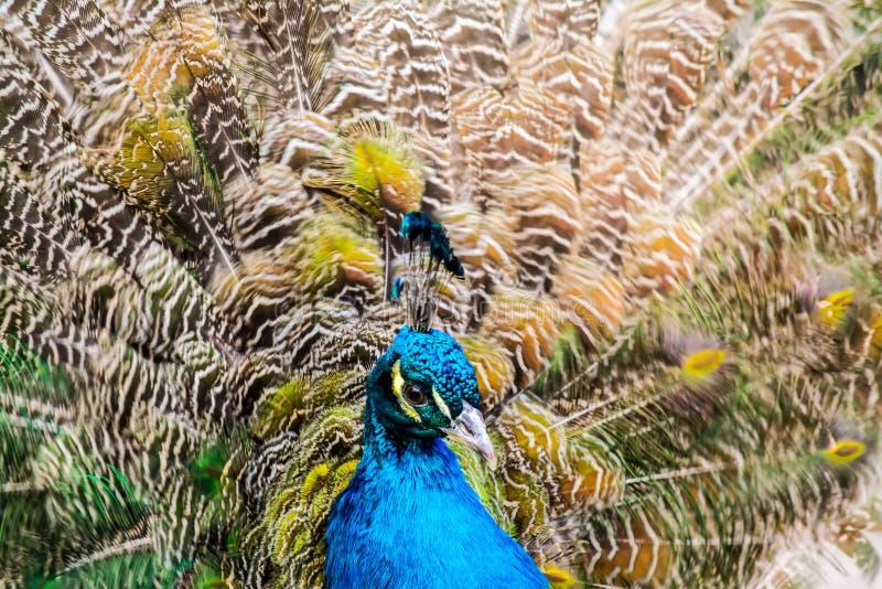 Close-up do pavão no fundo de penas de cauda multi-coloridas macias imagens de stock
