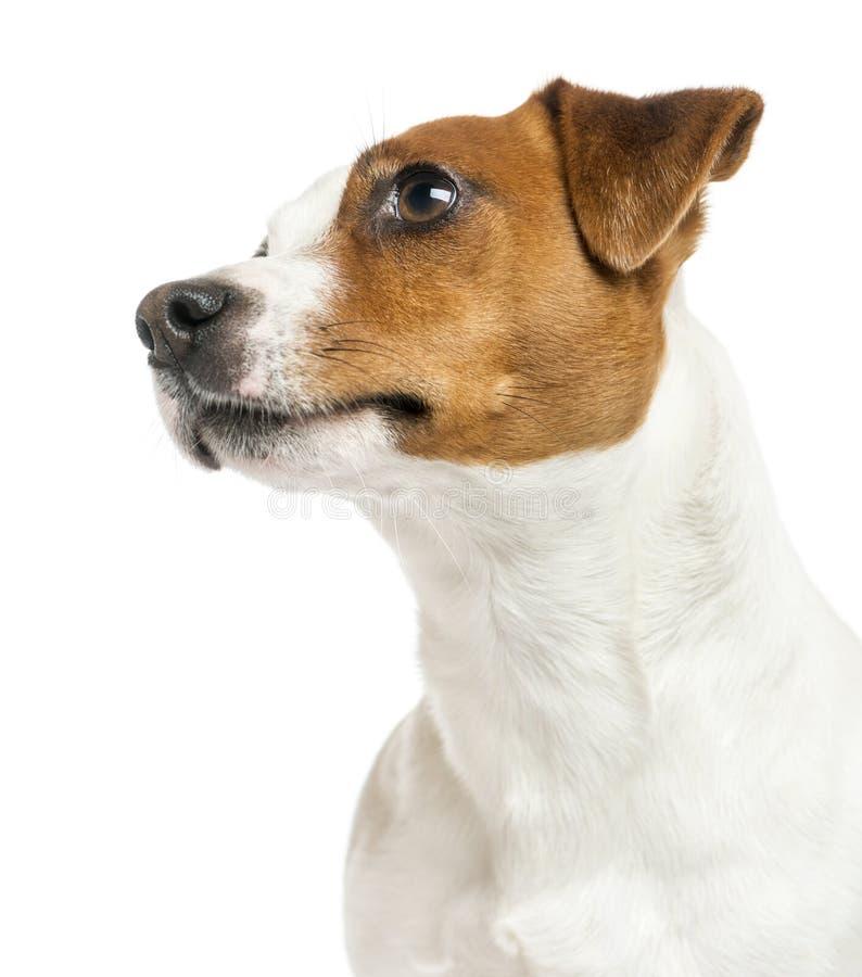 Close-up do perfil de um Jack Russell Terrier, olhando acima fotos de stock