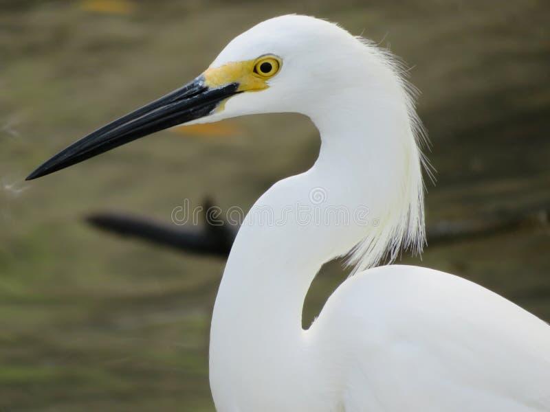 Close-up do perfil do egret nevado fotografia de stock