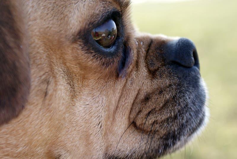 Close-up do perfil principal de Carlin imagem de stock royalty free
