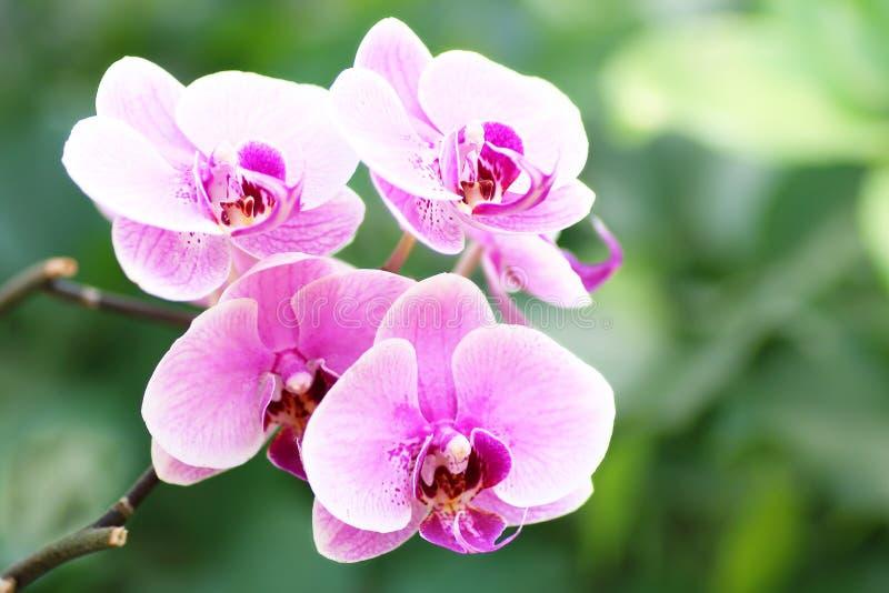 Close-up do phalaenopsis cor-de-rosa da orquídea foto de stock