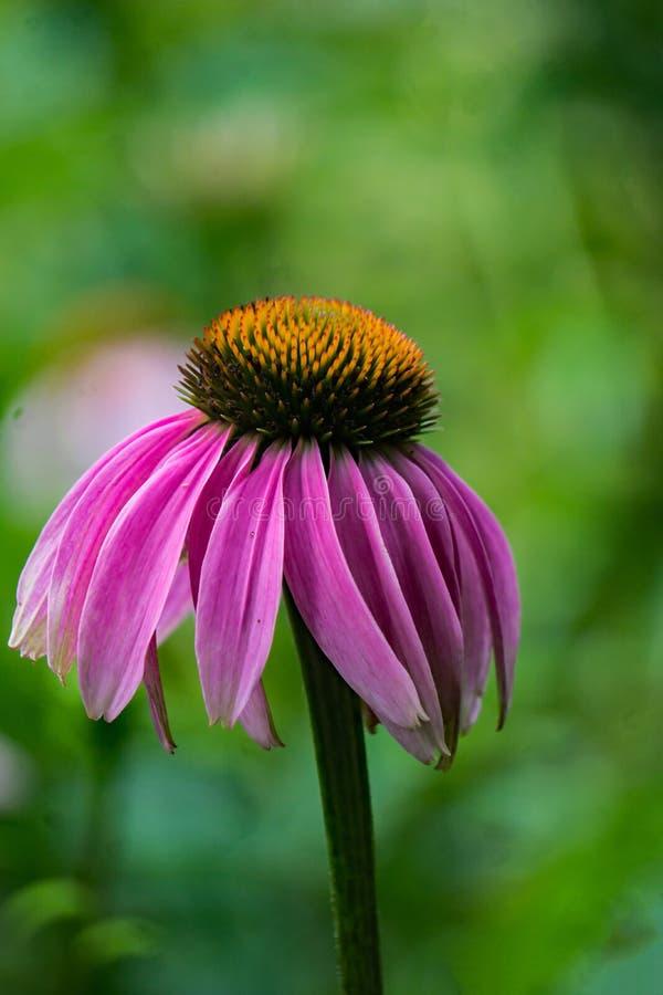 Close-up do purpurea do Echinacea de Coneflower foto de stock royalty free