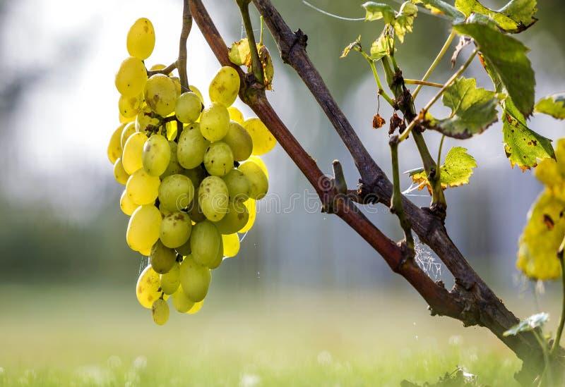 Close-up do ramo da videira com folhas verdes e o conjunto maduro amarelo dourado isolado da uva leves pelo sol brilhante em colo imagem de stock