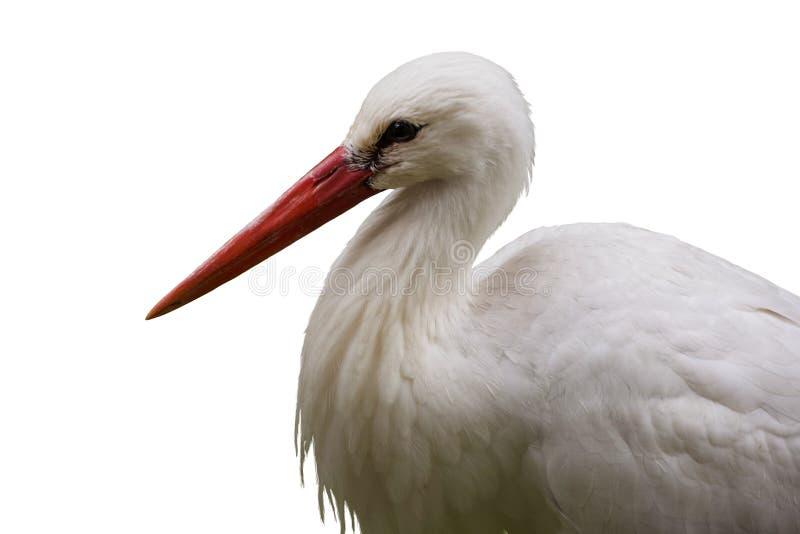 Close up do retrato da cegonha branca, isolado no fundo branco fotografia de stock