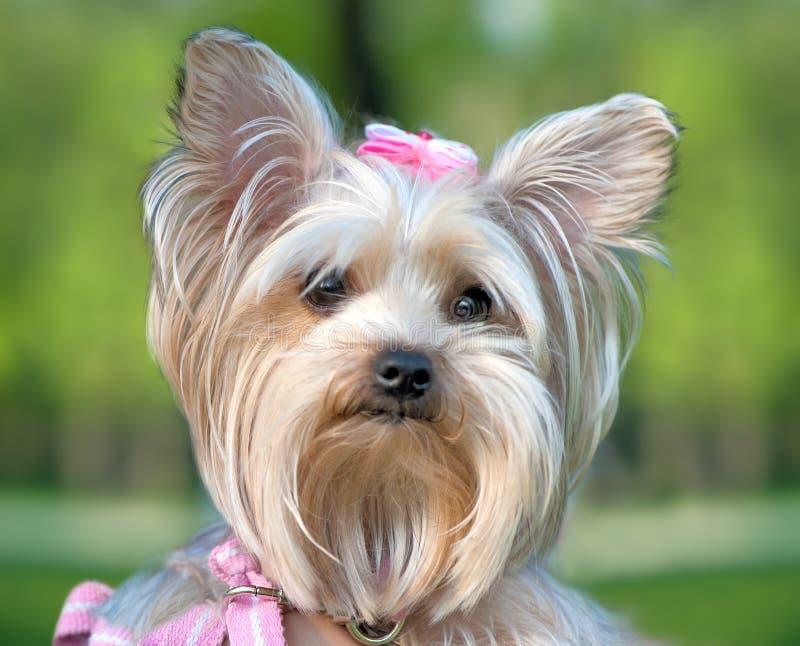 Close-up do retrato do terrier de Yorkshire foto de stock