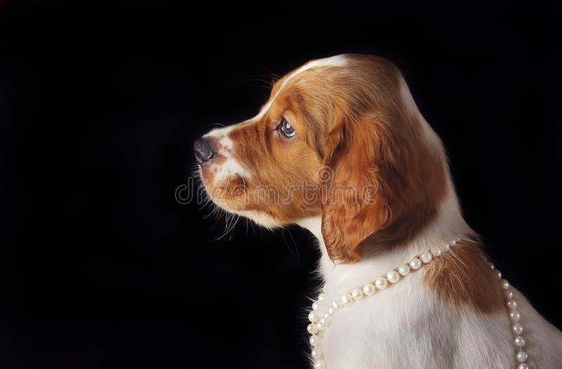 Close-up do retrato do setter do cachorrinho com corda das pérolas em torno de seu pescoço no fundo preto foto de stock royalty free