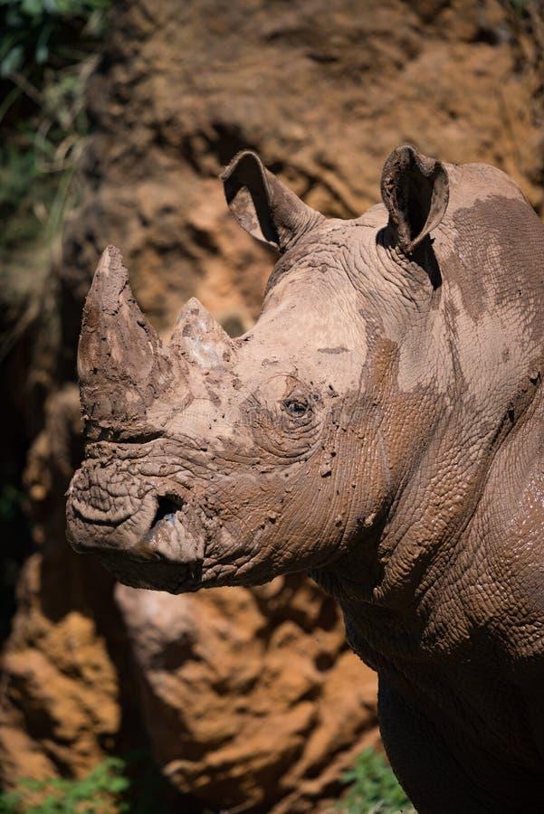 Close-up do rinoceronte branco enlameado abaixo do penhasco fotografia de stock
