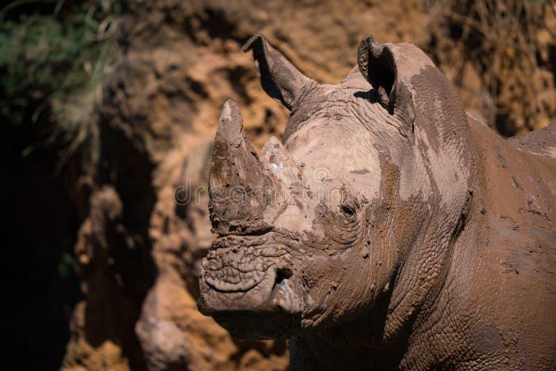 Close-up do rinoceronte branco enlameado que olha fixamente para fora foto de stock royalty free