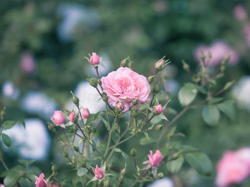 Close-up do rosa de rosas de Bush fora fotos de stock royalty free