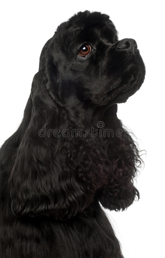 Close-up do Spaniel de Cocker americano, o 1 anos de idade fotografia de stock royalty free