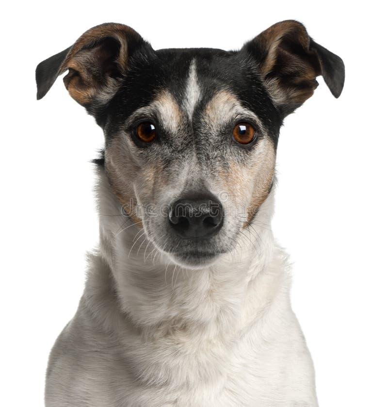 Close-up do terrier de Jack Russell, 12 anos velho fotos de stock