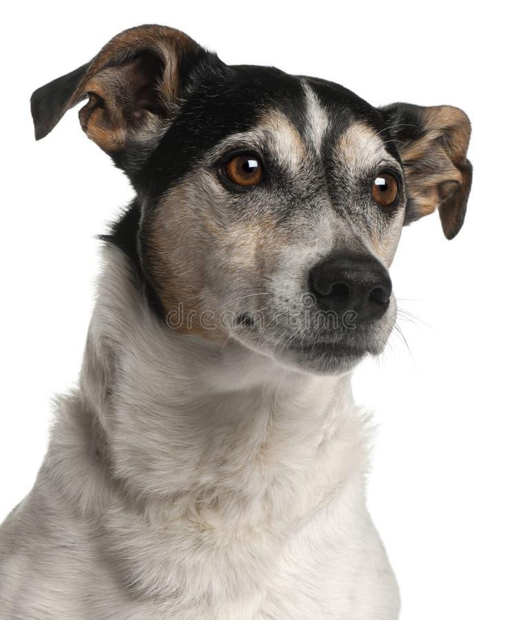 Close-up do terrier de Jack Russell, 12 anos velho fotografia de stock