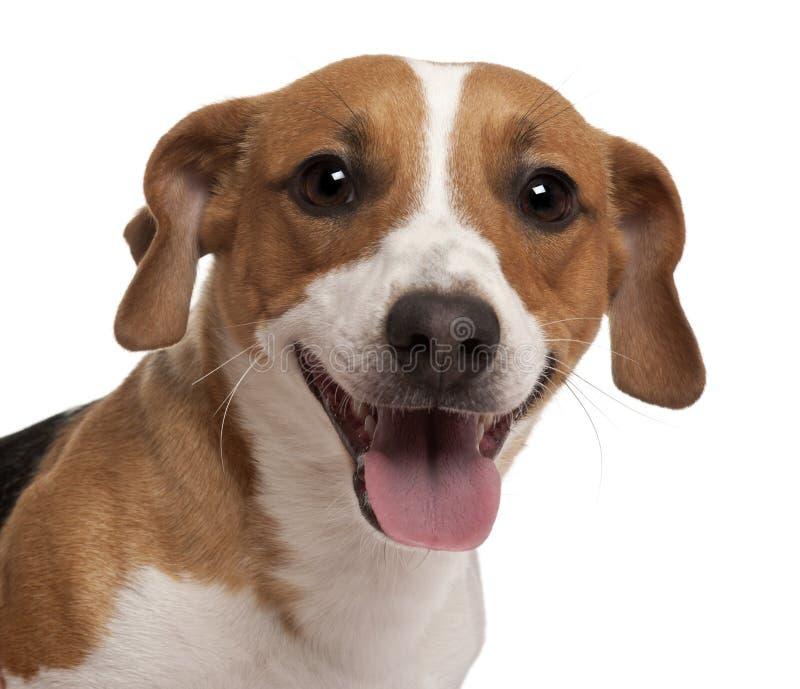 Close-up do terrier de Jack Russell fotos de stock