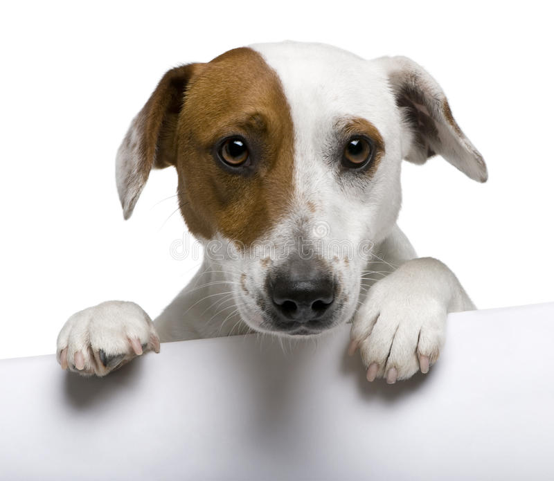 Close-up do terrier de Jack Russell, o 1 anos de idade fotografia de stock