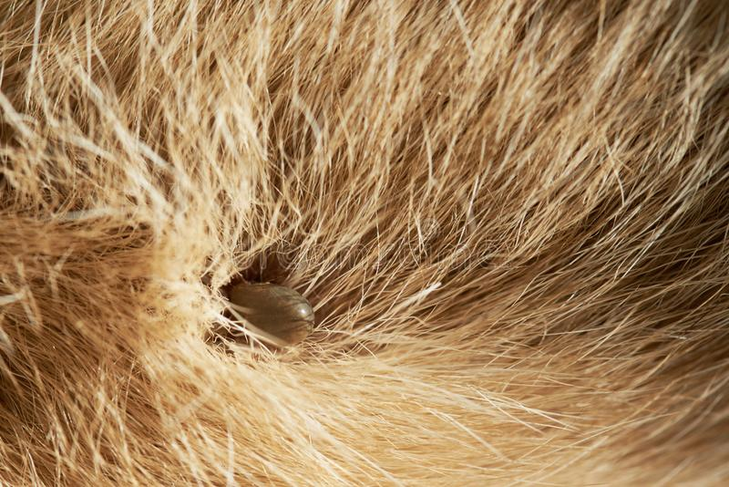 Close-up do tiquetaque de cão imagens de stock royalty free