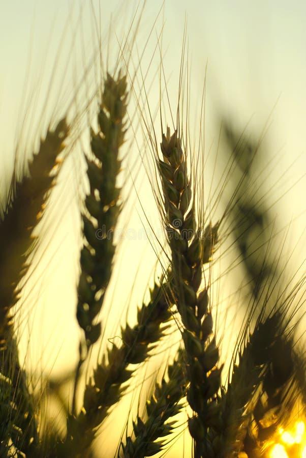Close-up do trigo imagens de stock