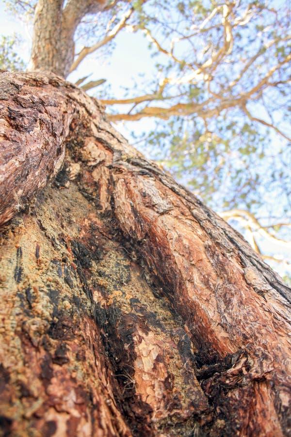 Close up do tronco de árvore de Brown Os ramos de uma árvore conífera no céu apropriado para o fundo Foco seletivo fotografia de stock royalty free
