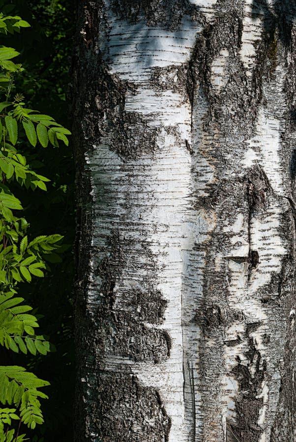 Close-up do tronco do vidoeiro com casca desigual e das folhas verdes laterais de Rowan imagens de stock royalty free