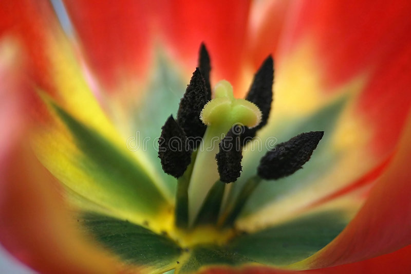 Close up do Tulip fotografia de stock