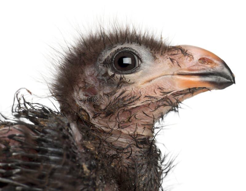 Close-up do Turaco de Fischer, fischeri de Tauraco, 1 semanas de idade foto de stock royalty free