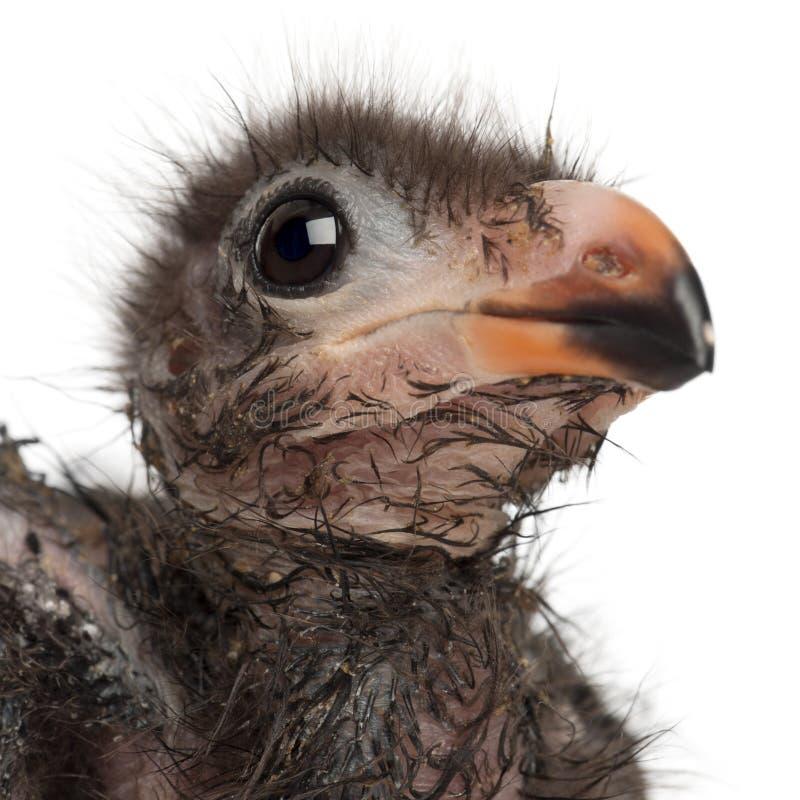 Close-up do Turaco de Fischer, fischeri de Tauraco, 1 semanas de idade foto de stock