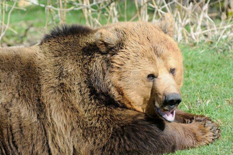 Boca do urso de Brown aberta fotografia de stock royalty free