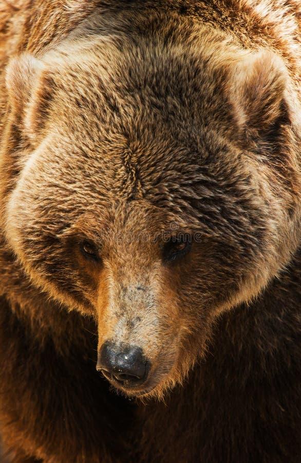 Close up do urso pardo foto de stock
