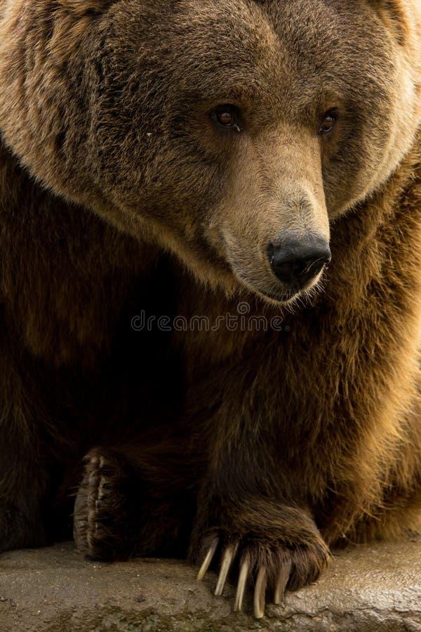 Close up do urso pardo com mostrar das garras foto de stock royalty free