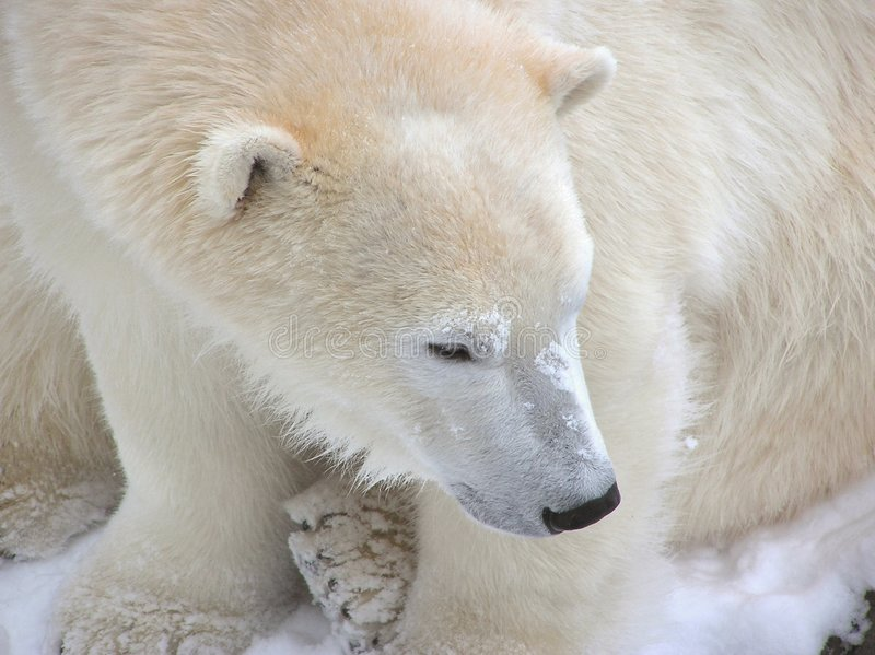 Close-up do urso polar fotografia de stock royalty free