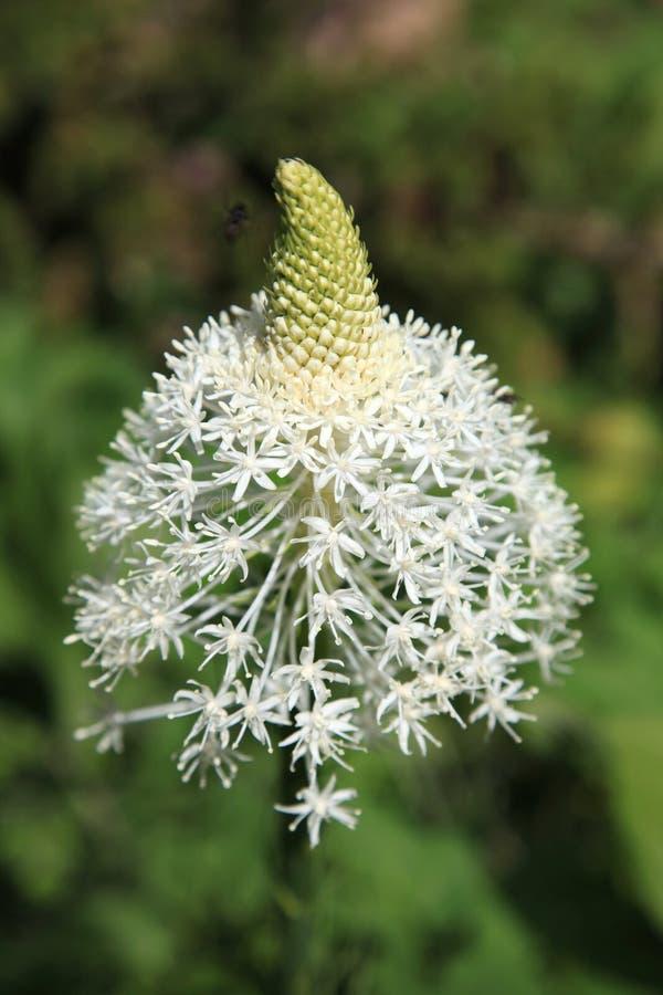 Close up do Wildflower de Beargrass imagem de stock