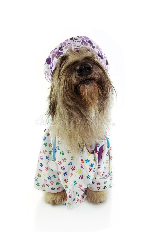 Close-up dog dressed as veterinary wearing stethoscope,  hospital gown and hat.  on white background royalty free stock photo
