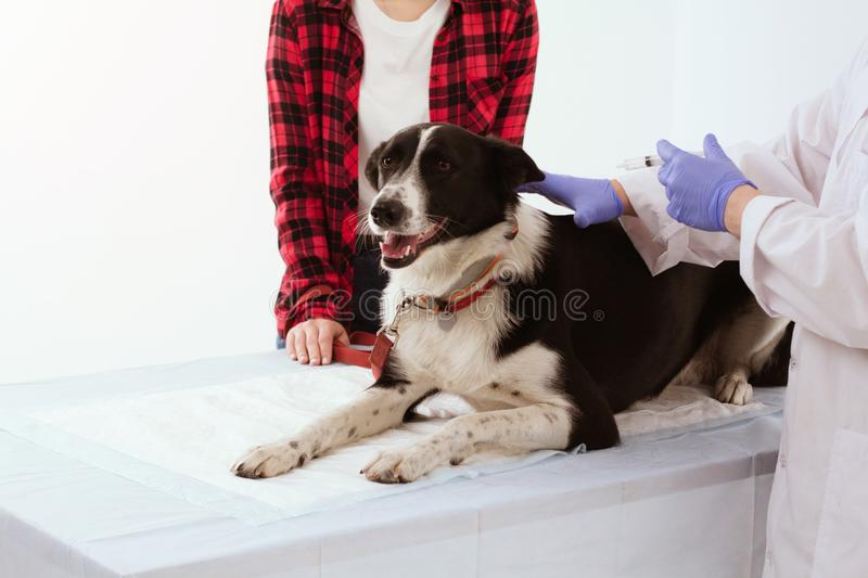 Dog getting checked at vet clinic with thir owner. stock photo
