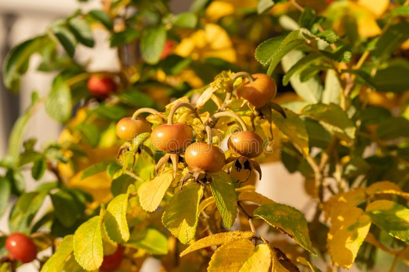 Close-up of dog-rose berries. Dog rose fruits (Rosa canina). Wild rosehips in nature royalty free stock images