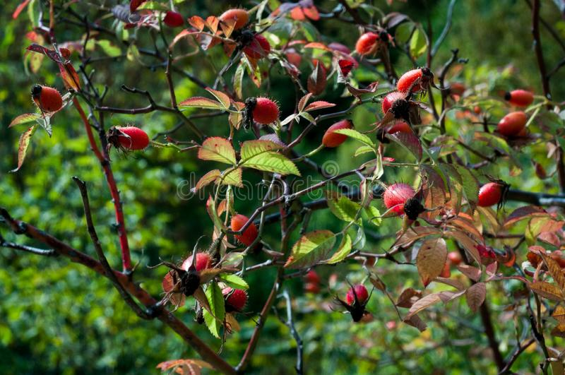 Close-up of dog-rose berries. Dog rose fruits (Rosa canina). Wild rosehips in nature royalty free stock photo