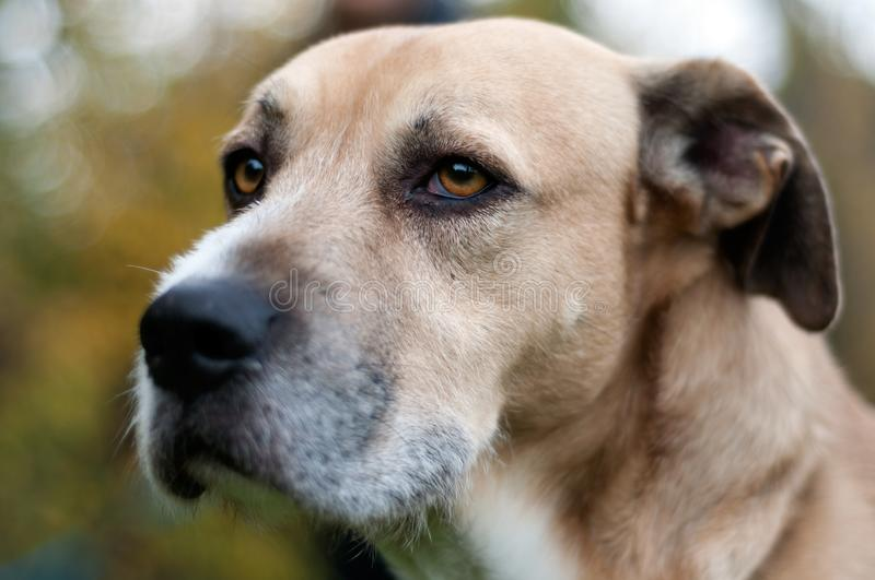 Close up of a dog`s face with a black big nose. beautiful golden eyes. looking far. outdoor. Animal head close up shot stock photos