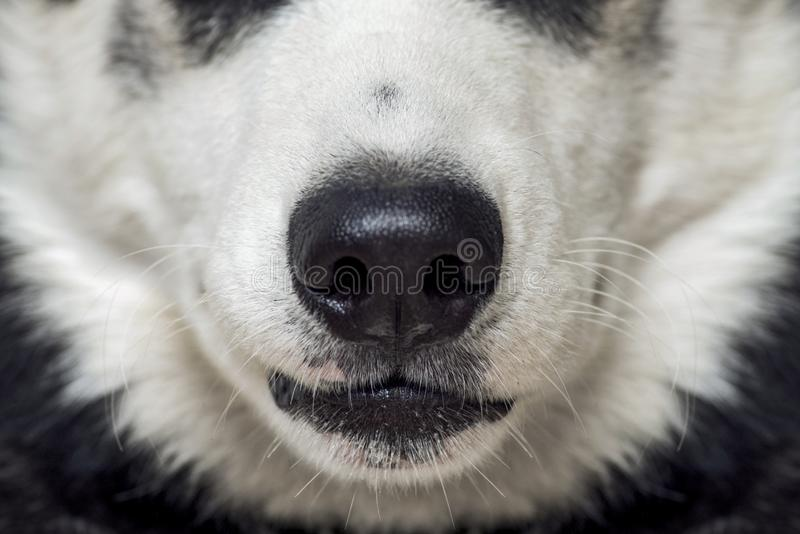 Close-up of a dog`s nose. Close up shot of dog nose. Dog nose. Beautiful Husky dog head royalty free stock images