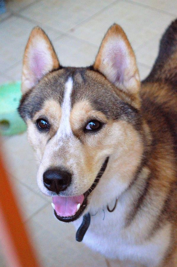 Siberian breed are smiling. royalty free stock photo