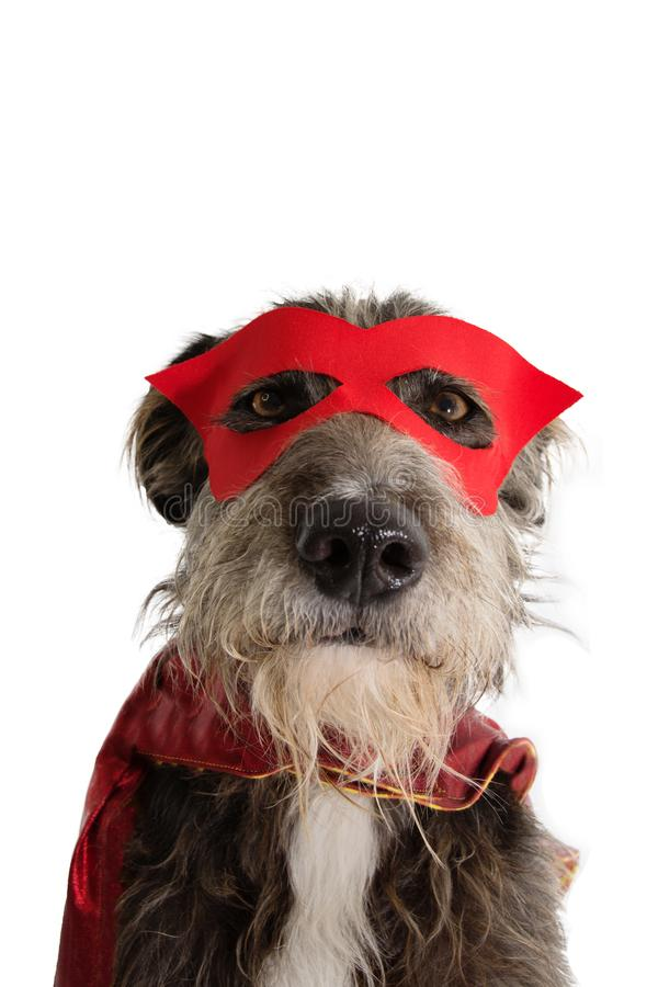 CLOSE-UP DOG SUPER HERO COSTUME.FUNNY PUPPY WEARING A RED MASK AND A CAPE.  CARNIVAL OR HALLOWEEN. ISOLATED STUDIO SHOT AGAINST. CLOSE-UP DOG SUPER HERO COSTUME royalty free stock photos