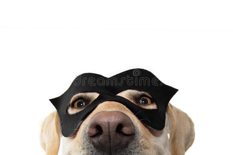 CLOSE-UP DOG SUPER HERO COSTUME. LABRADOR RETRIEVER WEARING A BLACK MASK AND A CAPE.  CARNIVAL OR HALLOWEEN HOLIDAY. ISOLATED. CLOSE-UP DOG SUPER HERO COSTUME stock photo