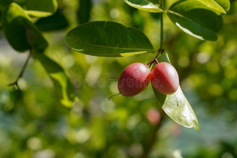 Close up dois Karanda, Carunda, fruto do espinho dos 's de Cristo no fundo da árvore, fundo da natureza do borrão, espaço da có imagem de stock