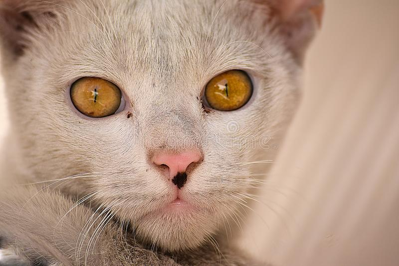 Close up of domestic cat. Domestic cat looking furiously and posing for getting clicked stock image