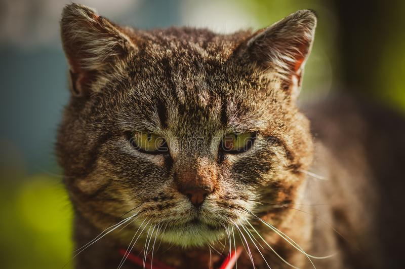 Close up of domestic cat`s face front. Close up of domestic cat`s mouth with nose and whiskers seen from front. Blurry background royalty free stock images