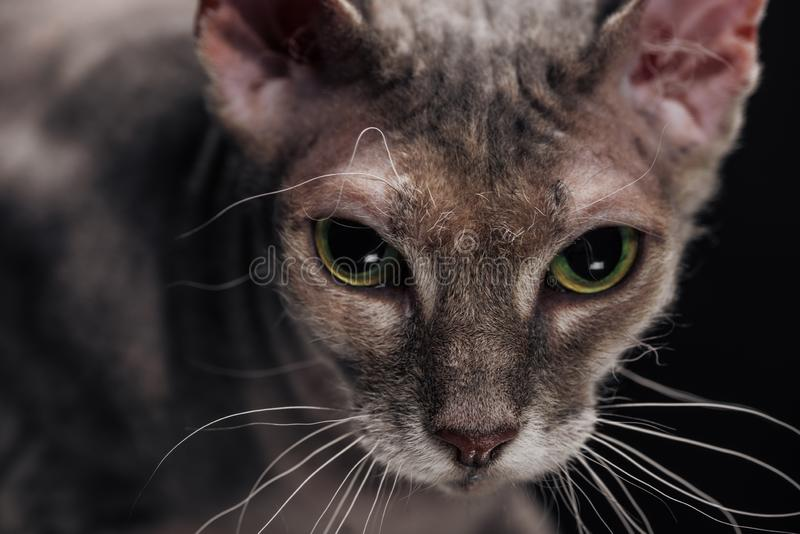 Close up of domestic grey sphynx cat. Isolated on black royalty free stock photography