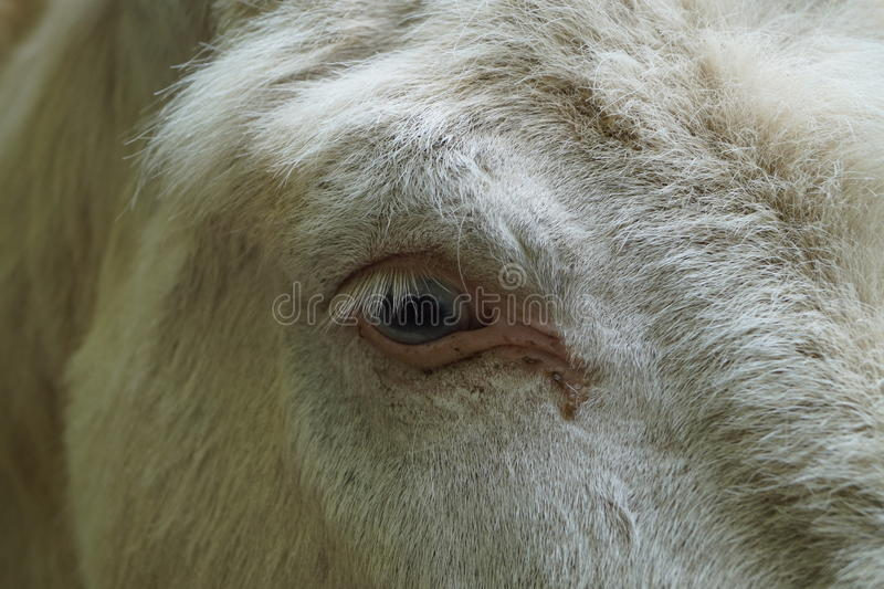Close up Donkey Eye royalty free stock photo