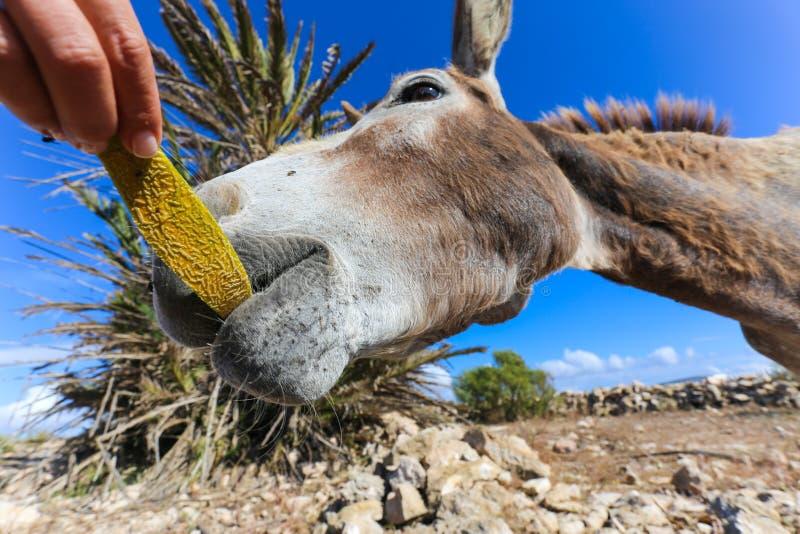 Close-up of donkey feeding stock images