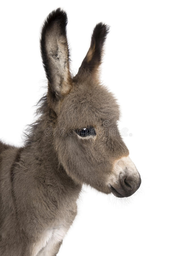 Close-up on a donkey foal's head (2 months) royalty free stock photo