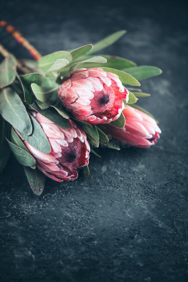 Close up dos bot?es do Protea Grupo de flores cor-de-rosa do rei Protea sobre o fundo escuro Dia do `s do Valentim imagens de stock royalty free